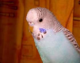 Как узнать, сколько лет волнистому попугаю фото