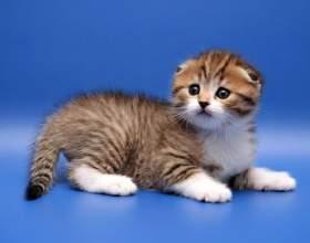 Как узнать, сколько стоит определенная порода кошки фото