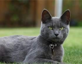 Самые популярные породы кошек фото