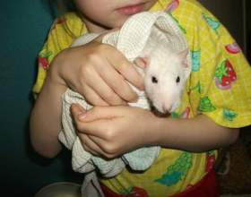 Как купать домашних крыс фото