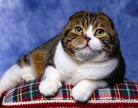 Как вязать шотландских кошек фото