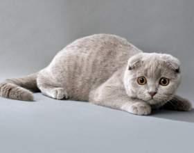 Как вязать шотландских вислоухих кошек фото