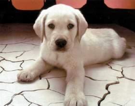 Как назвать щенка алабая фото
