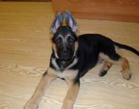 Как воспитать щенка немецкой овчарки фото
