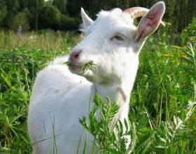 Как встречать наступающий год козы (овцы) фото