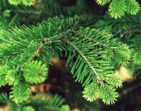 Как выбирают елку: ищем свою лесную красавицу фото