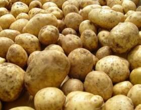 Как выбирать семенной картофель фото