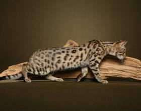 Как выбрать бенгальского котенка фото