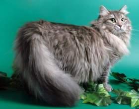 Как выбрать чистокровную сибирскую кошку фото
