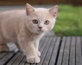 Как выбрать гладкошерстную кошку фото