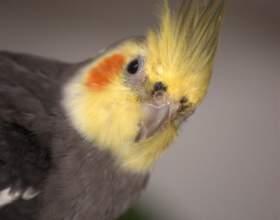 Как выбрать говорящего попугая фото
