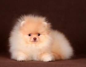 Как выбрать хорошего щенка шпица фото