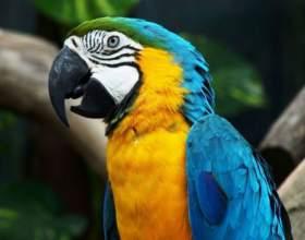 Как выбрать и купить попугая ара фото