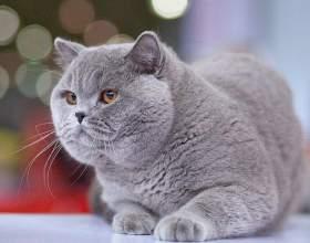 Как выбрать кличку для британской кошки фото