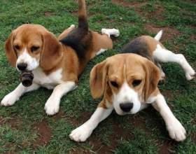 Как выбрать щенка гончей фото