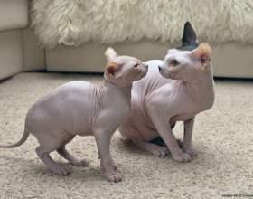Как назвать котенка сфинкса фото