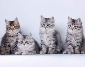 Как выбрать котенка сибирской кошки фото