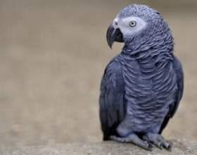 Как выбрать попугая жако фото