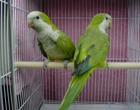 Как приручить птиц садиться в клетку фото