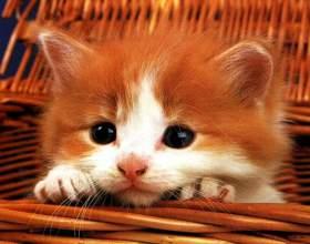 Как определить породу котенка фото