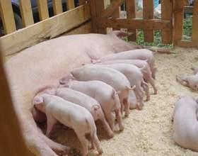 Как разводить свиней фото