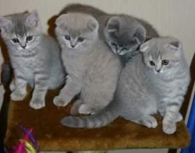 Как назвать шотландского котенка фото