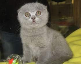 Как назвать вислоухого котёнка фото