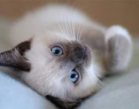Как выбрать сиамского котенка при покупке фото
