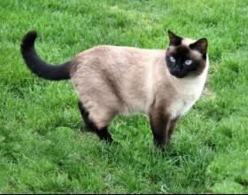 Как выбрать тайскую кошку фото