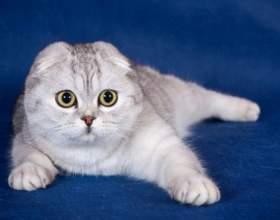 Как выбрать шотландского вислоухого котенка фото