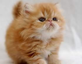 Как выбрать здорового персидского котенка фото