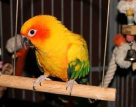 Как выбрать здорового попугая фото