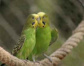 Как выбрать волнистого попугайчика фото