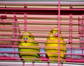 Как выбрать здорового волнистого попугая для покупки? фото