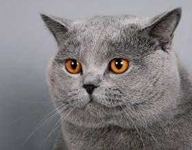Как выглядит британская кошка фото