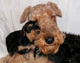 Как выглядит родословная на собак фото