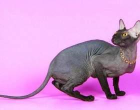 Как выглядят кошки породы сфинкс фото