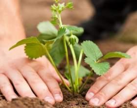 Как выращивать рассаду клубники фото
