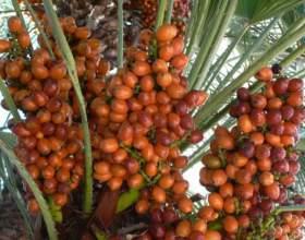 Как вырастить из финика пальму фото