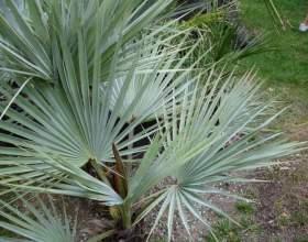Как вырастить комнатную пальму из косточки фото