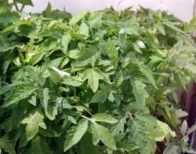 Как вырастить крепкую рассаду помидоров фото