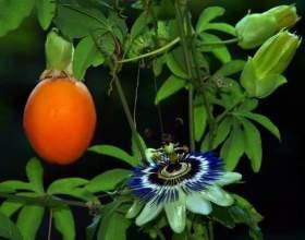 Как вырастить пассифлору из семян фото