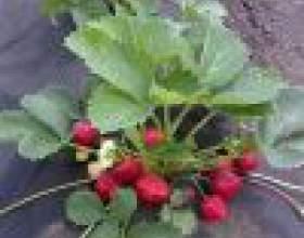 Как вырастить рассаду земляники в торфяных горшочках фото