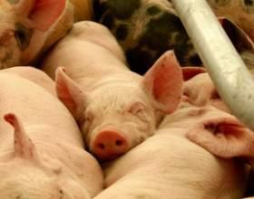 Как вырастить свинью фото