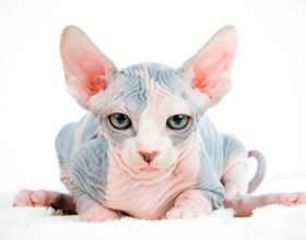 Как вывели кошек породы сфинкс фото