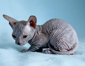 Как выбрать котенка донского сфинкса фото