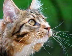 Как вывести блох у кошки в домашних условиях фото