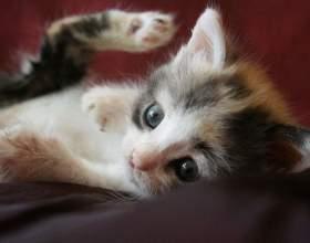 Как вывести блох у котенка в домашних условиях фото