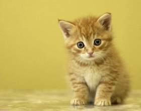 Как избавиться от блох у котенка фото