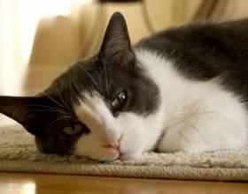 Как вывести блох у кота фото